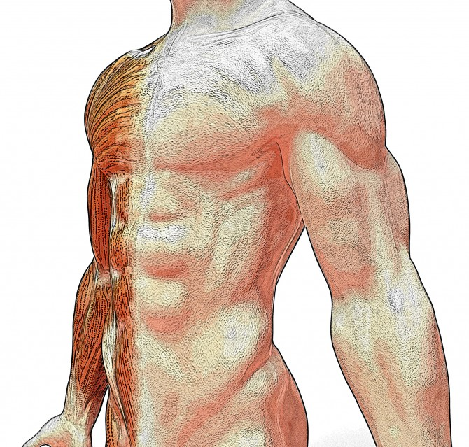 El múscul més fort del cos humà