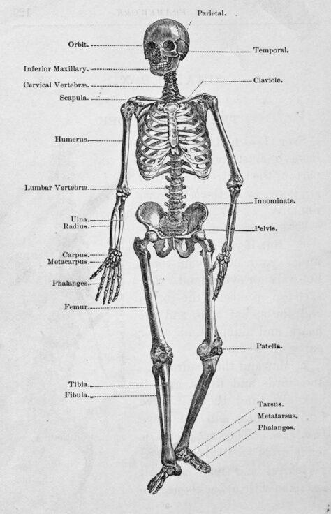 Quants ossos tenim a l'esquelet humà?