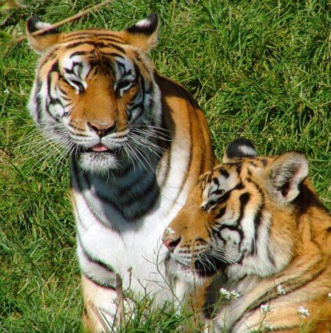 El país amb més tigres