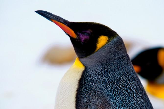 Curiositats dels pingüins