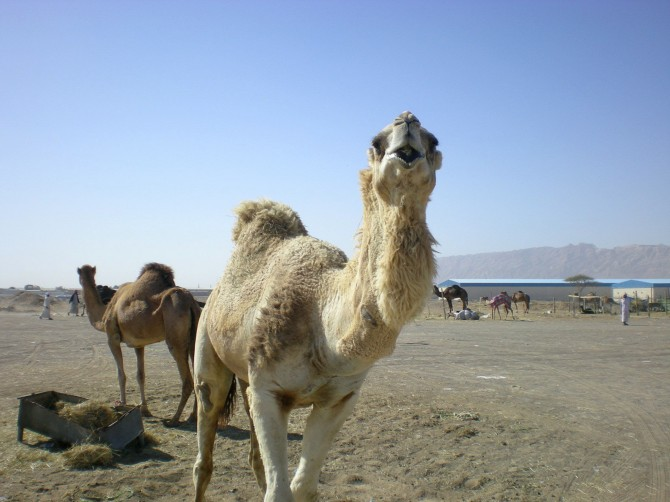 Per què els camells i els dromedaris tenen gepa?
