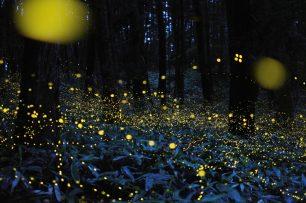 Per què brillen les cuques de llum?