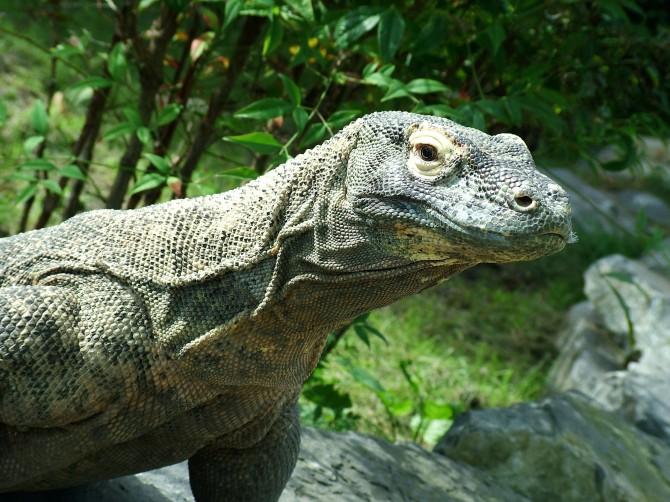 La reproducció del Drac de Komodo