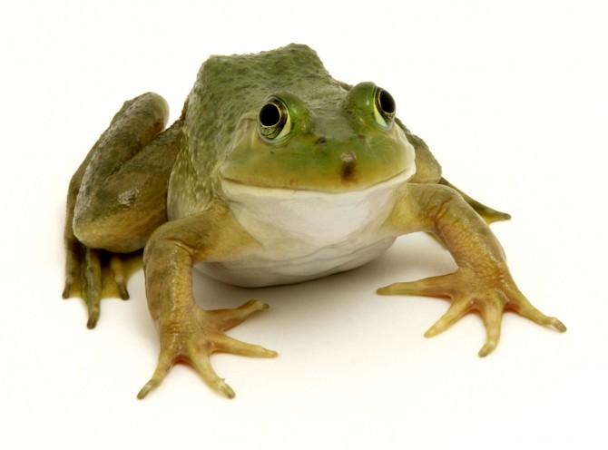 La prova de la granota