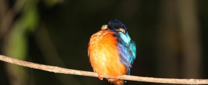 Per què els ocells no cauen de la branques quan dormen?