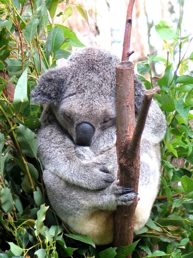 Quantes hores dorm un koala?