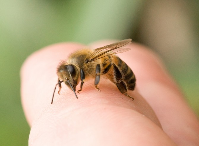 A quina part del cos fa més mal una picada d'abella?