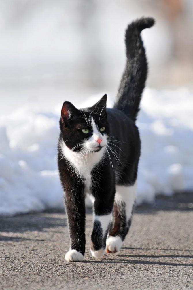 Significat dels moviments de la cua del gat