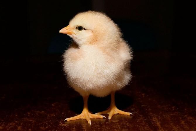 Què va ser primer: l'ou o la gallina?