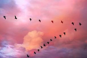 Per què els ocells volen formant una V?