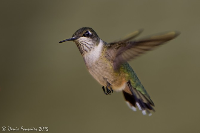 Curiositats del colibrí