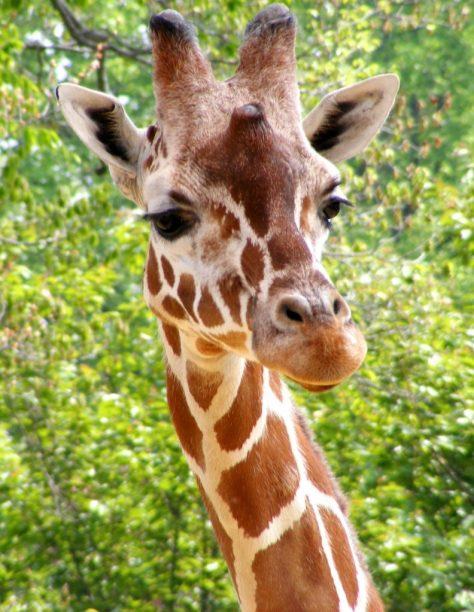 Quant dorm una girafa?