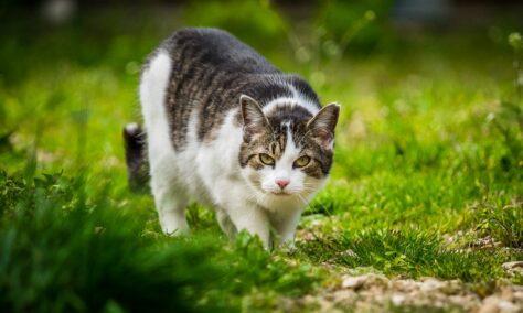 Per què els cogombres espanten els gats?