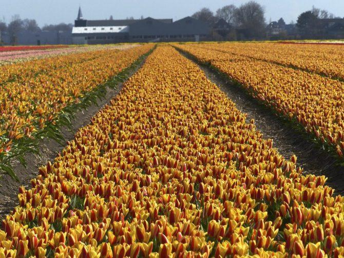 Per què es cultiven tantes tulipes a Holanda?