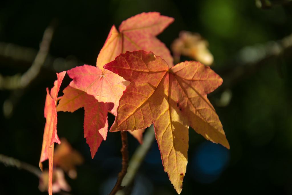 Per què cauen les fulles a la tardor?