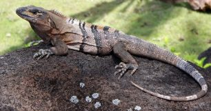 Per què les iguanes prenen el sol?