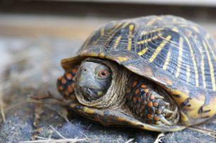 Per què les tortugues tenen closca?