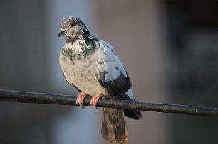 Per què els ocells no fan pipí?