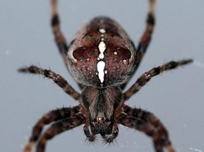 Les aranyes es podrien menjar tots els éssers humans i encara es quedarien amb gana