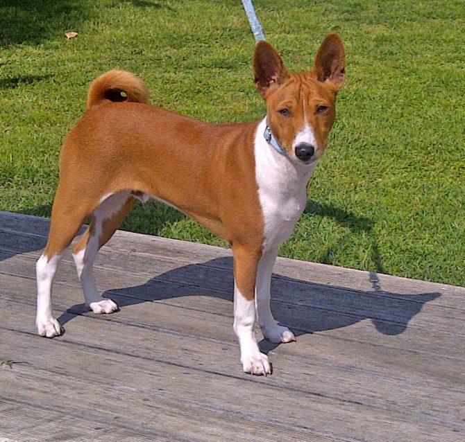 Quina raça de gos no borda mai?