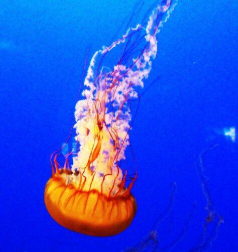 Les meduses no tenen cervell, però tenen 24 ulls