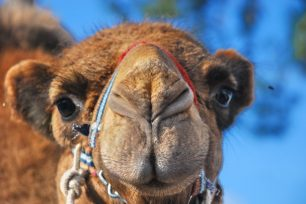 Els camells tenen tres parpelles