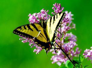 Curiositats de les papallones