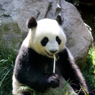 Curiositats de l'ós panda